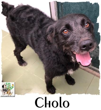Cholo – ADOPTADO