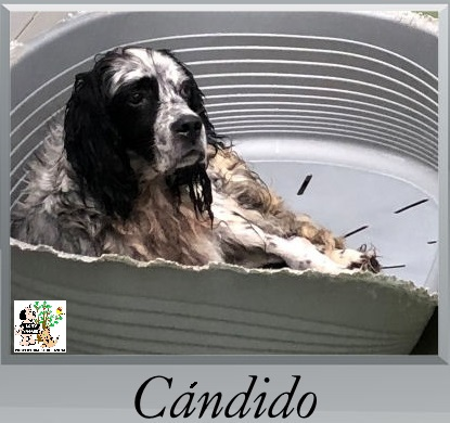 (Español) Cándido – ADOPTADO