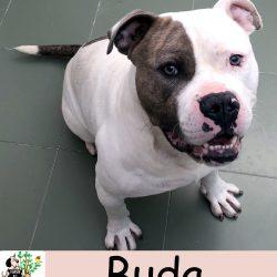 (Español) BUDA
